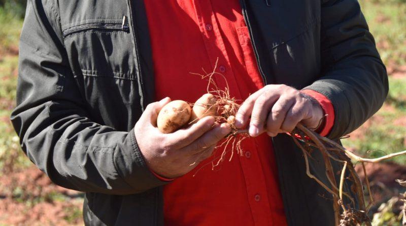 Verifican primera cosecha demostrativa de papas en Central