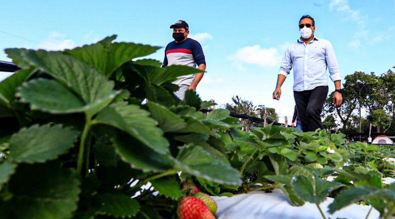 Visitamos esta mañana la finca de la Gobernación que usufructúan frutilleros organizados de Areguá